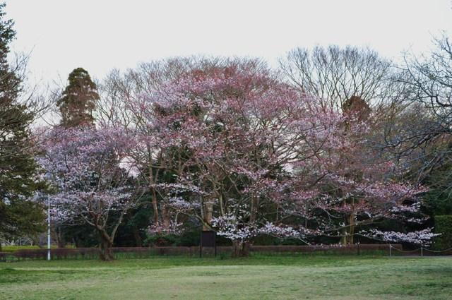 桜はまだかな?_a0126590_23385467.jpg