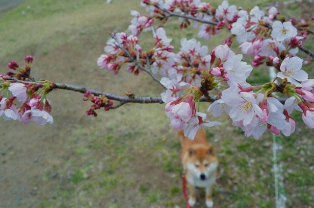 桜はまだかな?_a0126590_23391670.jpg