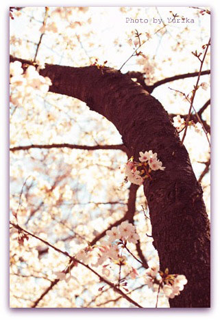 * The cherry blossoms are in full bloom *_c0083904_19211169.jpg