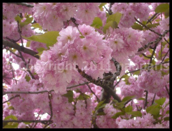 【サクラ】4月4日RUE DE SEINE PARIS_a0008105_1915498.jpg