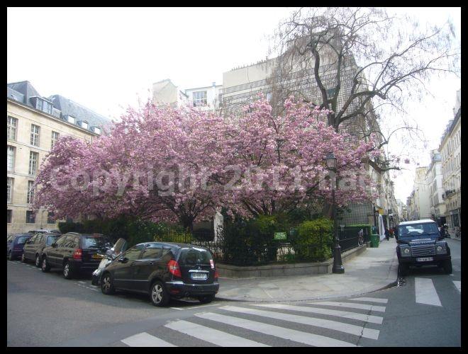 【サクラ】4月4日RUE DE SEINE PARIS_a0008105_19162497.jpg