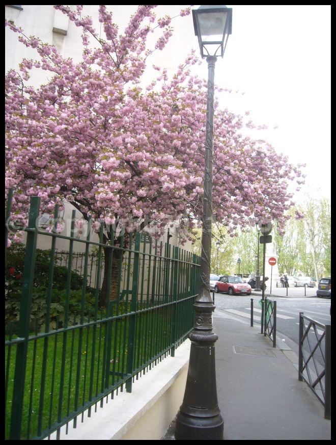 【サクラ】4月4日RUE DE SEINE PARIS_a0008105_19165988.jpg