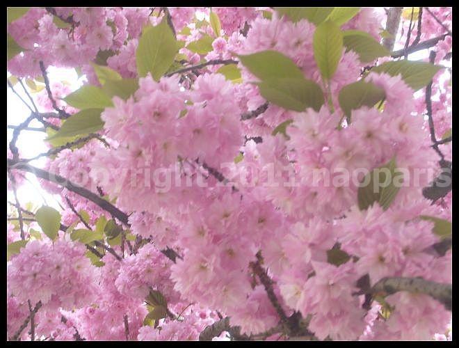 【サクラ】4月4日RUE DE SEINE PARIS_a0008105_19175587.jpg