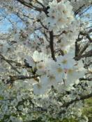 今年の桜は・・・_d0110911_1132070.jpg