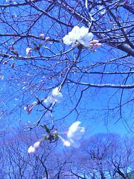 桜とマカロン_d0184326_1134517.jpg