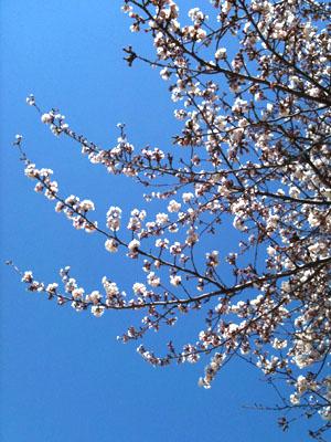 桜咲く。_a0162853_13444196.jpg