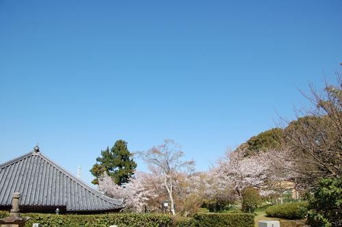 平成23年4月度「大人の林間学校」:琴演奏と理智院の桜_c0108460_2311291.jpg