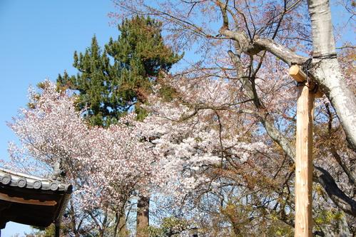 平成23年4月度「大人の林間学校」:琴演奏と理智院の桜_c0108460_23114335.jpg