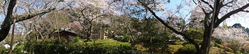平成23年4月度「大人の林間学校」:琴演奏と理智院の桜_c0108460_2325270.jpg