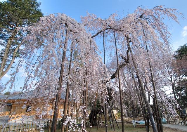 伏姫桜2011 その1_f0018464_6234754.jpg