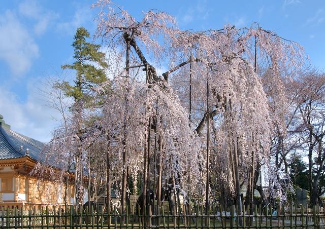伏姫桜2011 その1_f0018464_6235876.jpg