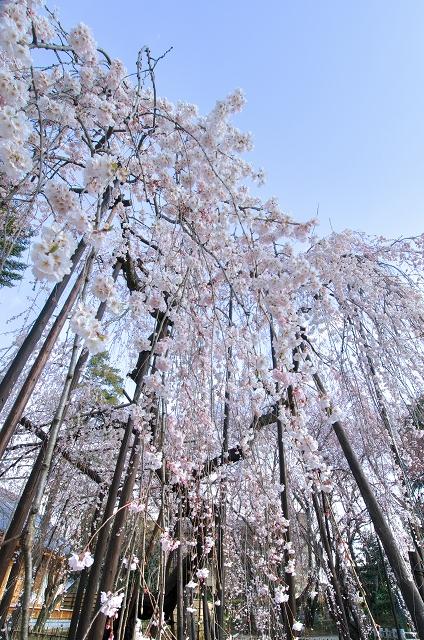 伏姫桜2011 その1_f0018464_624983.jpg