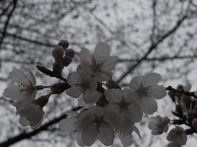 桜 _d0105967_15265538.jpg