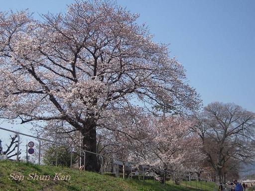 賀茂川の桜_a0164068_23361179.jpg