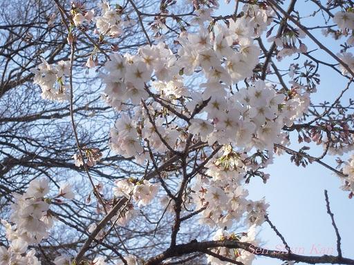賀茂川の桜_a0164068_23372960.jpg