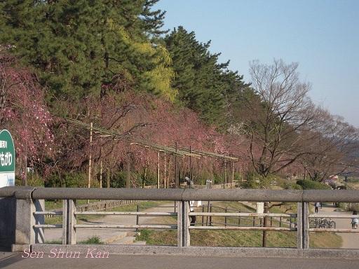 賀茂川の桜_a0164068_23375268.jpg