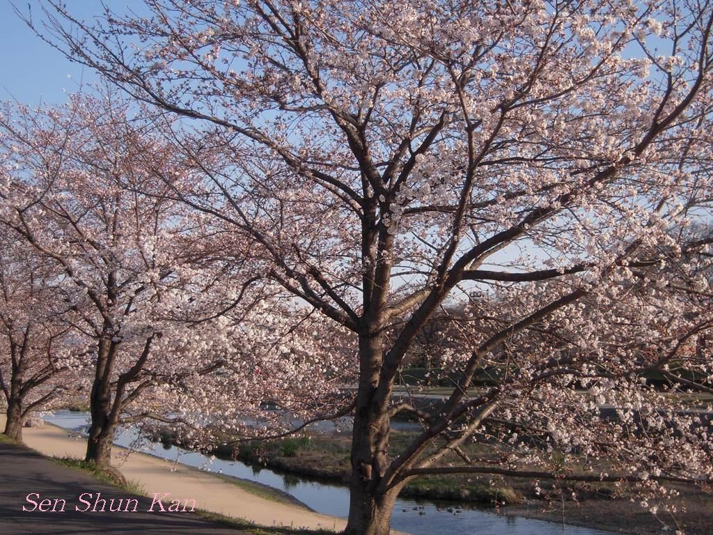 賀茂川の桜_a0164068_23382977.jpg