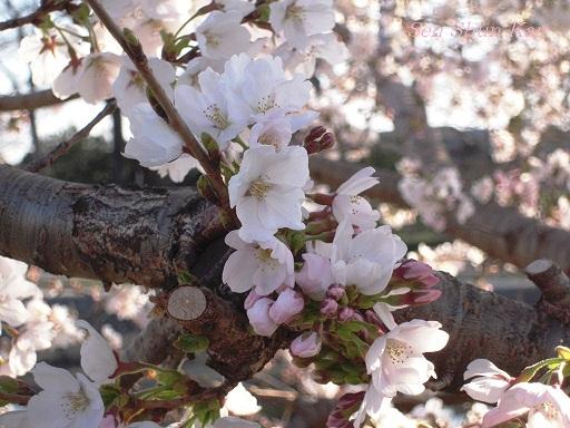 賀茂川の桜_a0164068_2338458.jpg