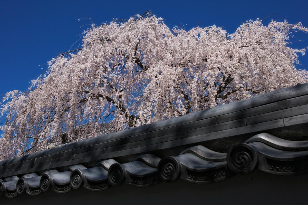 桜 2011  京都 <本満寺>_f0021869_553012.jpg