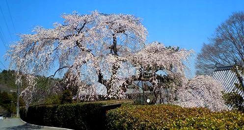 ご近所の櫻(5)   ~高原寺の枝垂れ櫻~_b0102572_1764265.jpg