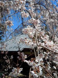 ご近所の櫻(5)   ~高原寺の枝垂れ櫻~_b0102572_1773640.jpg