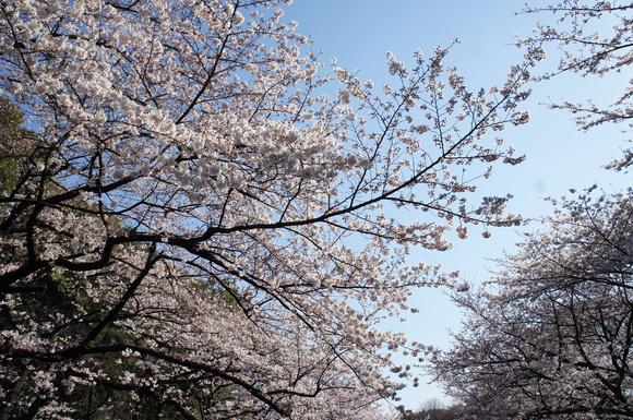 上野の山の見事な桜たち!_c0180686_1164299.jpg