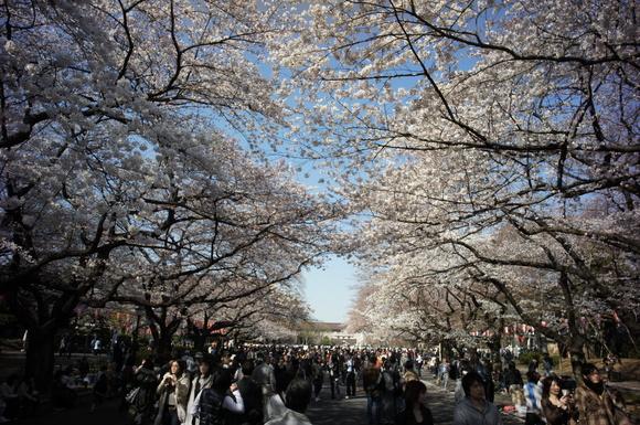 上野の山の見事な桜たち!_c0180686_1204376.jpg