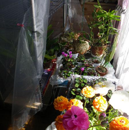 猫部屋とフウランと福寿草。  作業はシャジンなど_a0136293_1811231.jpg