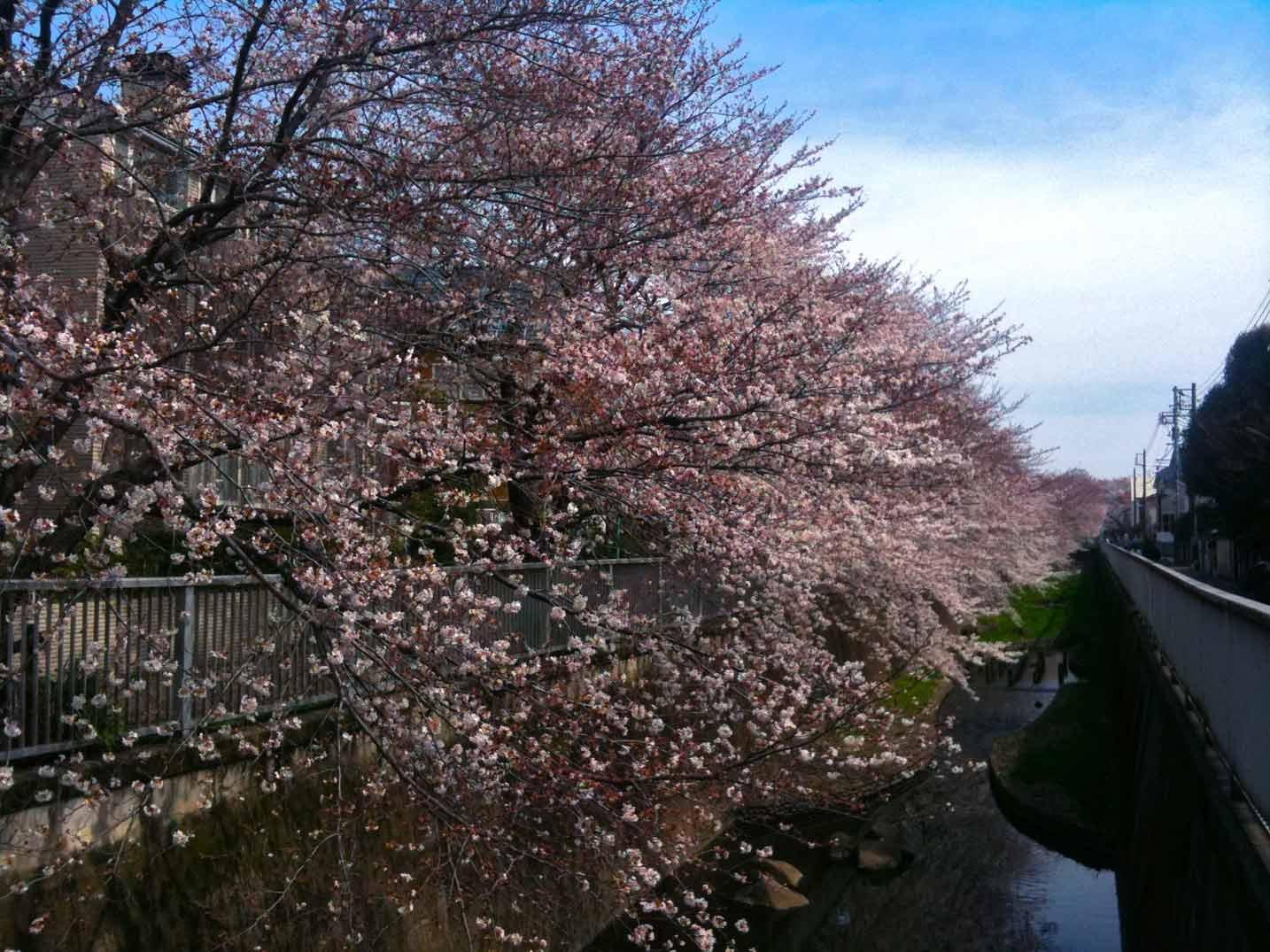 そして、今日の桜_b0060102_1484785.jpg