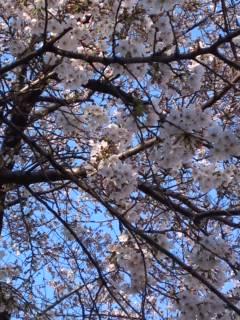 桜の花も自粛?ぎみ_e0101312_1910280.jpg