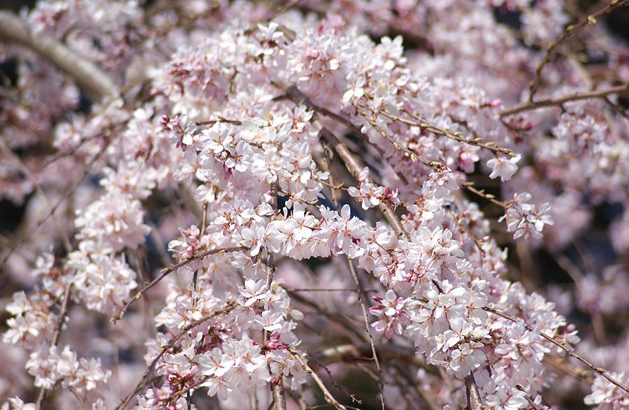 我が家の桜_d0151813_193157.jpg