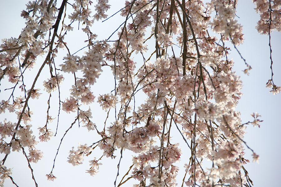 我が家の桜_d0151813_1942094.jpg