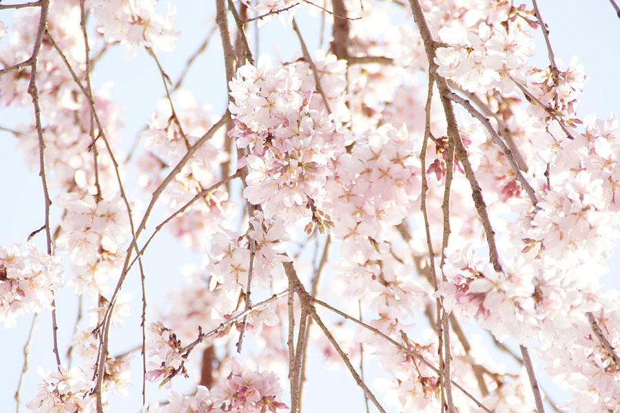 我が家の桜_d0151813_1945146.jpg