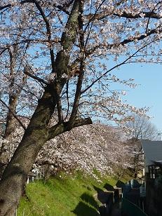 花見 その1 桜と桃_a0177314_19101154.jpg