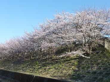 花見 その1 桜と桃_a0177314_19102678.jpg