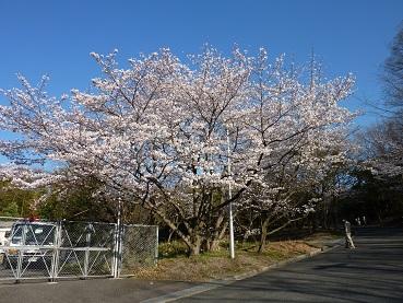 花見 その1 桜と桃_a0177314_19112862.jpg