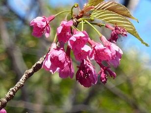 花見 その1 桜と桃_a0177314_1915288.jpg
