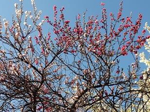 花見 その1 桜と桃_a0177314_19165644.jpg