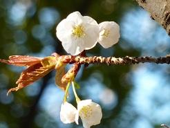花見 その1 桜と桃_a0177314_19211574.jpg