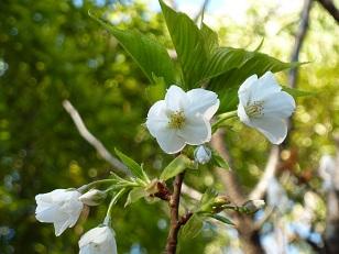 花見 その1 桜と桃_a0177314_19272868.jpg