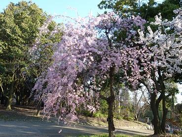 花見 その1 桜と桃_a0177314_19275769.jpg