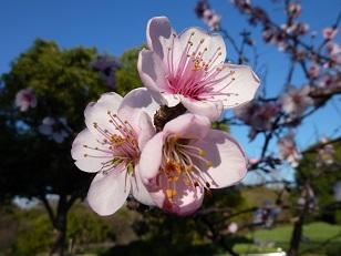 花見 その1 桜と桃_a0177314_19294890.jpg
