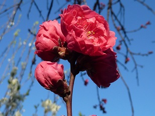 花見 その1 桜と桃_a0177314_205367.jpg
