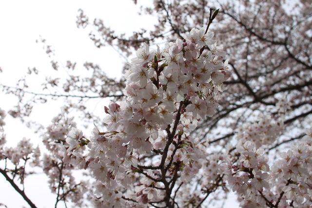 桜!!_b0130018_109238.jpg