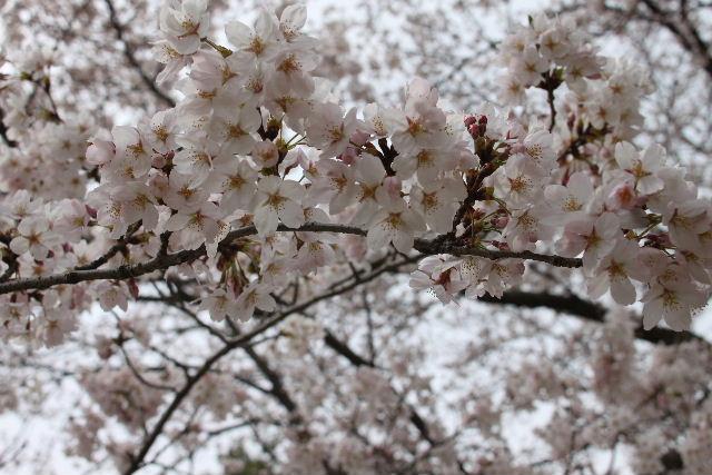 桜!!_b0130018_109655.jpg