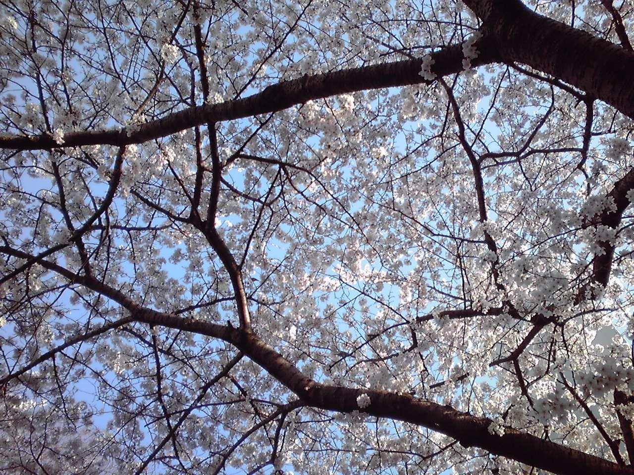 桜  七分咲き_e0155231_911463.jpg