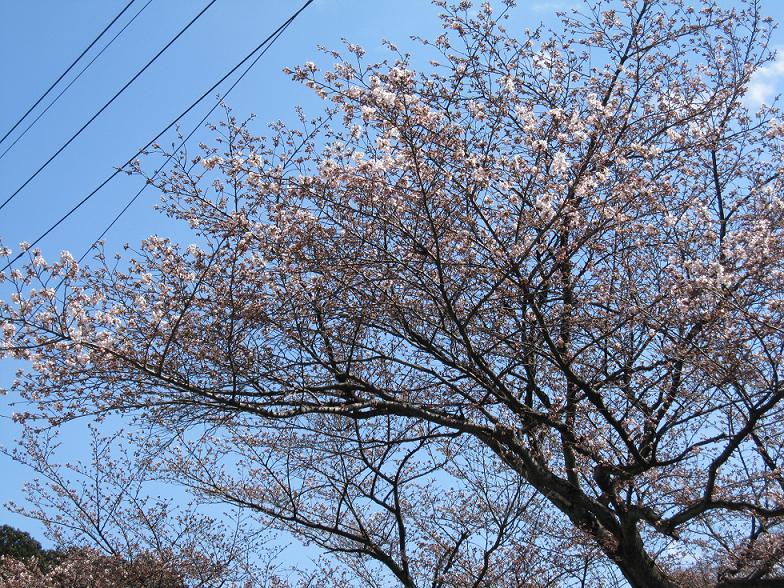 2010年4月7日 桜実況中継_c0078659_14544291.jpg