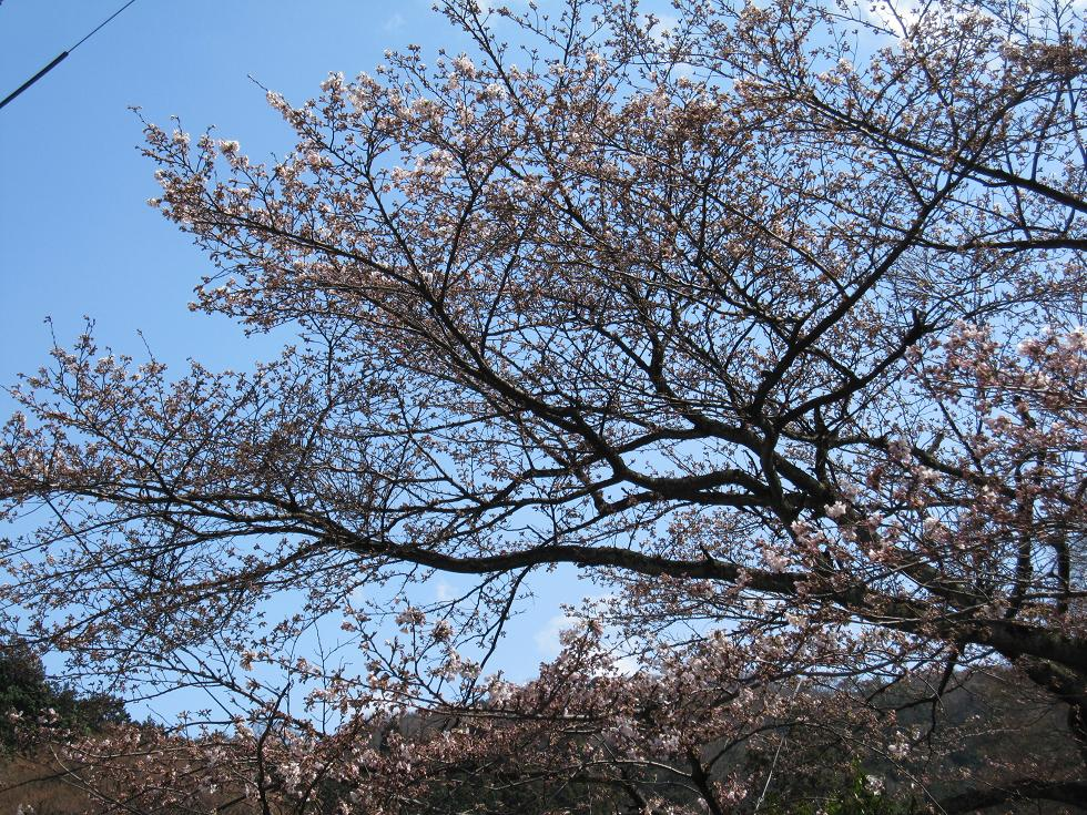 2010年4月7日 桜実況中継_c0078659_1522250.jpg
