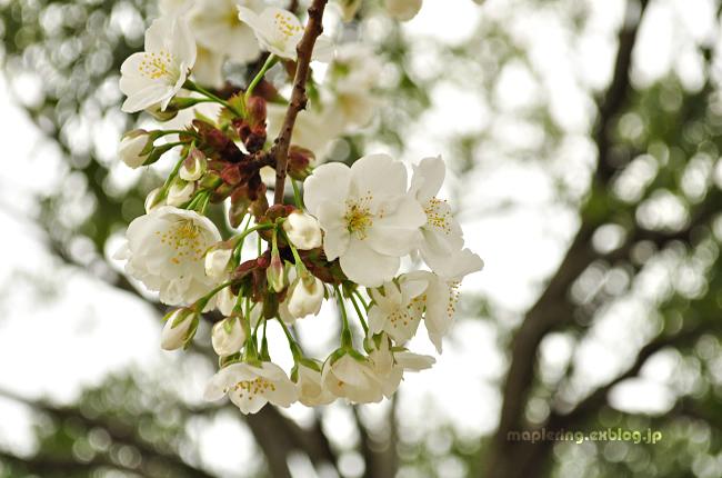 桜_f0234062_21385457.jpg