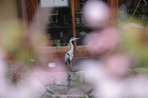 春・京の桜・六角堂_a0157263_22444139.jpg